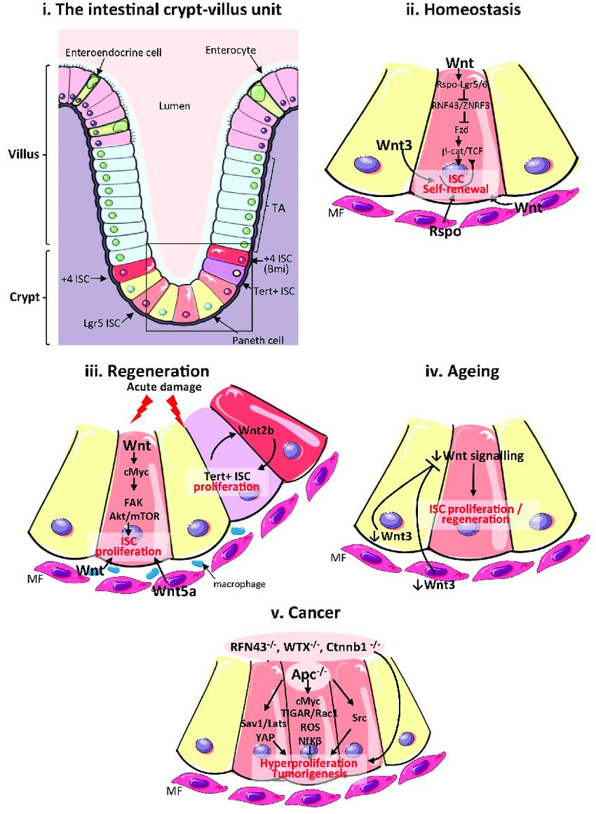 medium resolution of wnt signalling in the mammalian intestine during homeostasis download scientific diagram