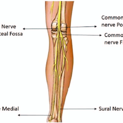 Lower Leg Nerve Diagram Electrical And Wiring Diagrams Anatomical Landmarks Used For Obtaining Csa Measurements The Limb Nerves At Our Study
