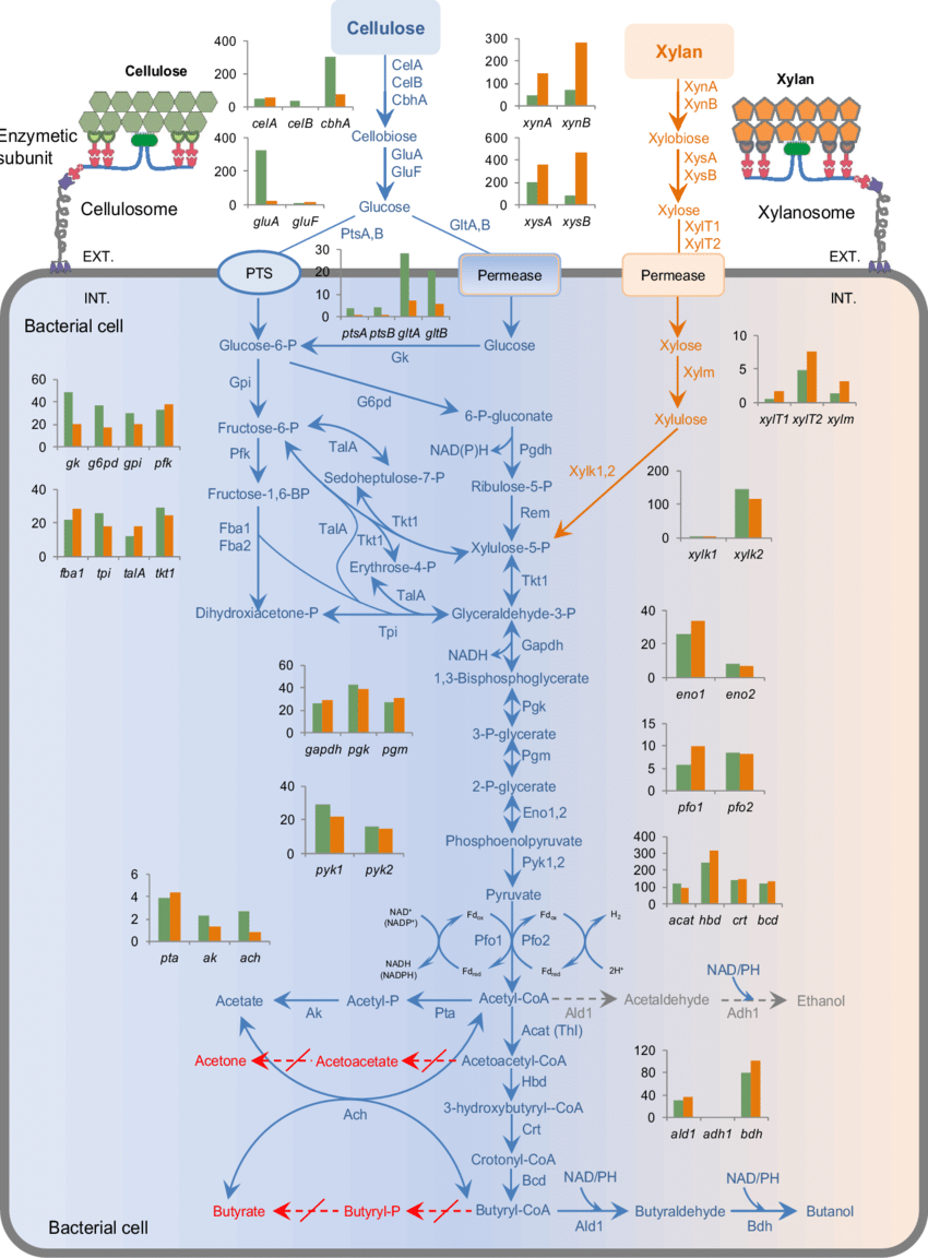 hight resolution of distinct central metabolic pathways and relative abundances of transcripts in cellulose and xylan cultures solid arrows indicate genes for the reaction