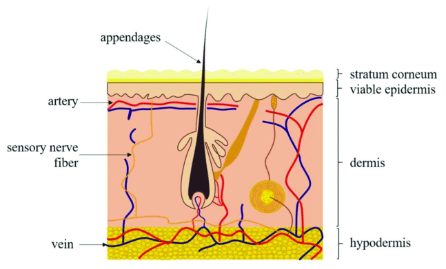 dermis layer diagram vt radio wiring sketch of the human skin layers moving from outside to inside