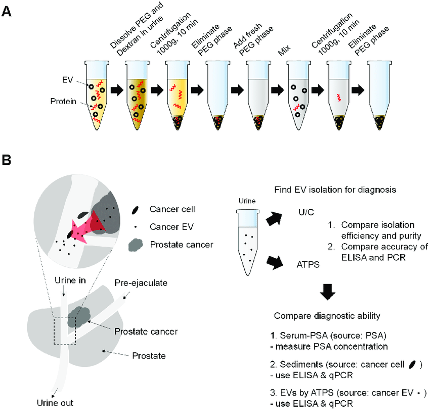 Scheme of experiments. (A) Use of ATPS to isolate EVs in