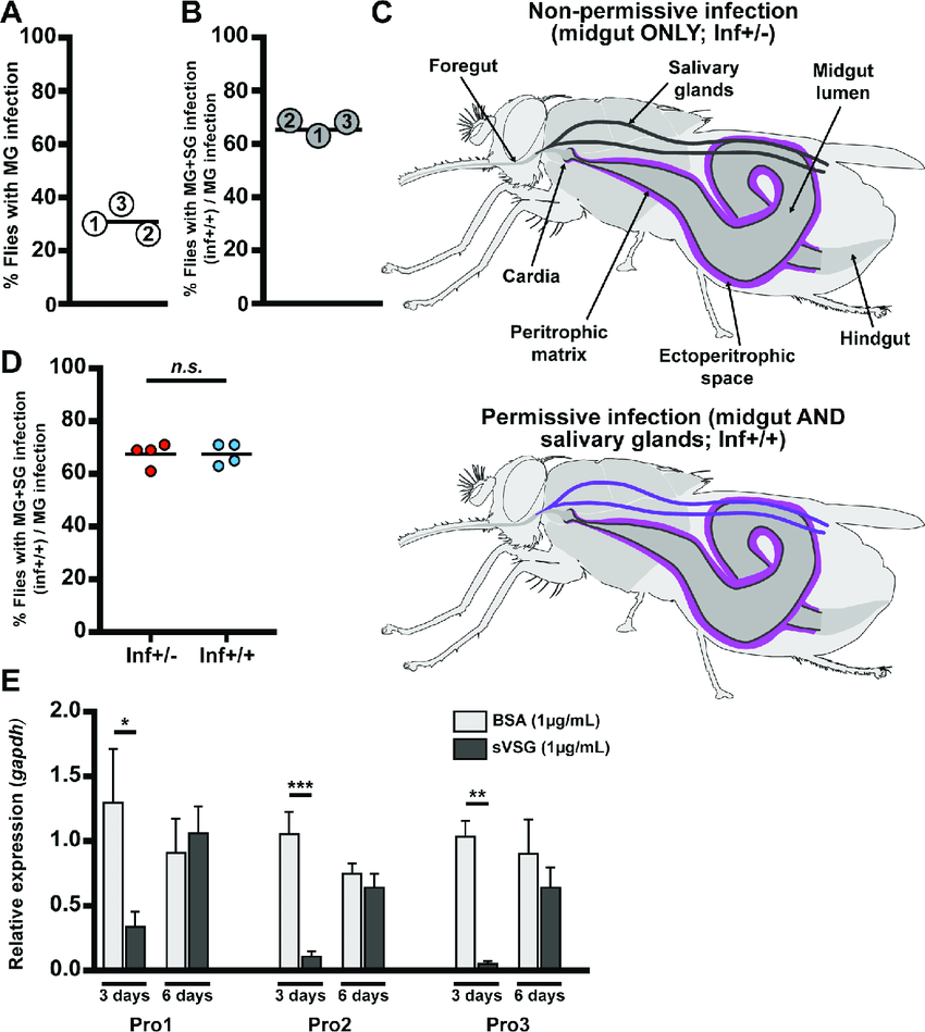 hight resolution of dynamics of parasite infection in tsetse flies a and b midgut mg