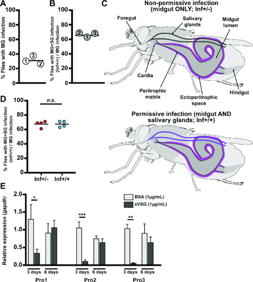 small resolution of dynamics of parasite infection in tsetse flies a and b midgut mg