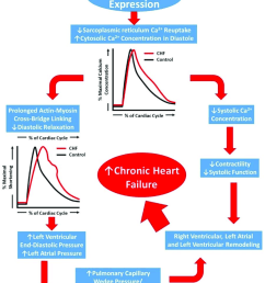 schematic representation of the progression of chronic heart failure initial downregulation of serca2a function leads [ 850 x 1054 Pixel ]