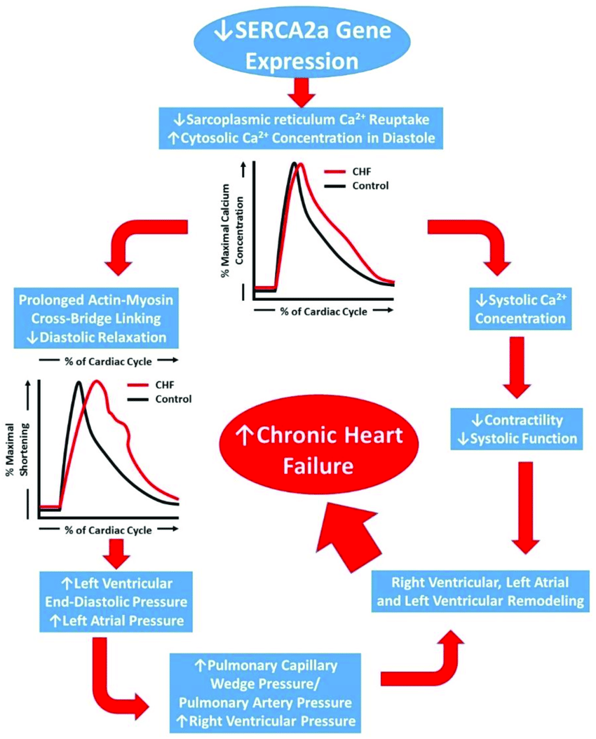 hight resolution of schematic representation of the progression of chronic heart failure initial downregulation of serca2a function leads