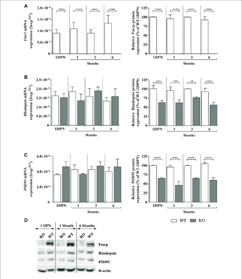 small resolution of fragile x mental retardation protein fmrp rhodopsin and psd95 mrna and protein