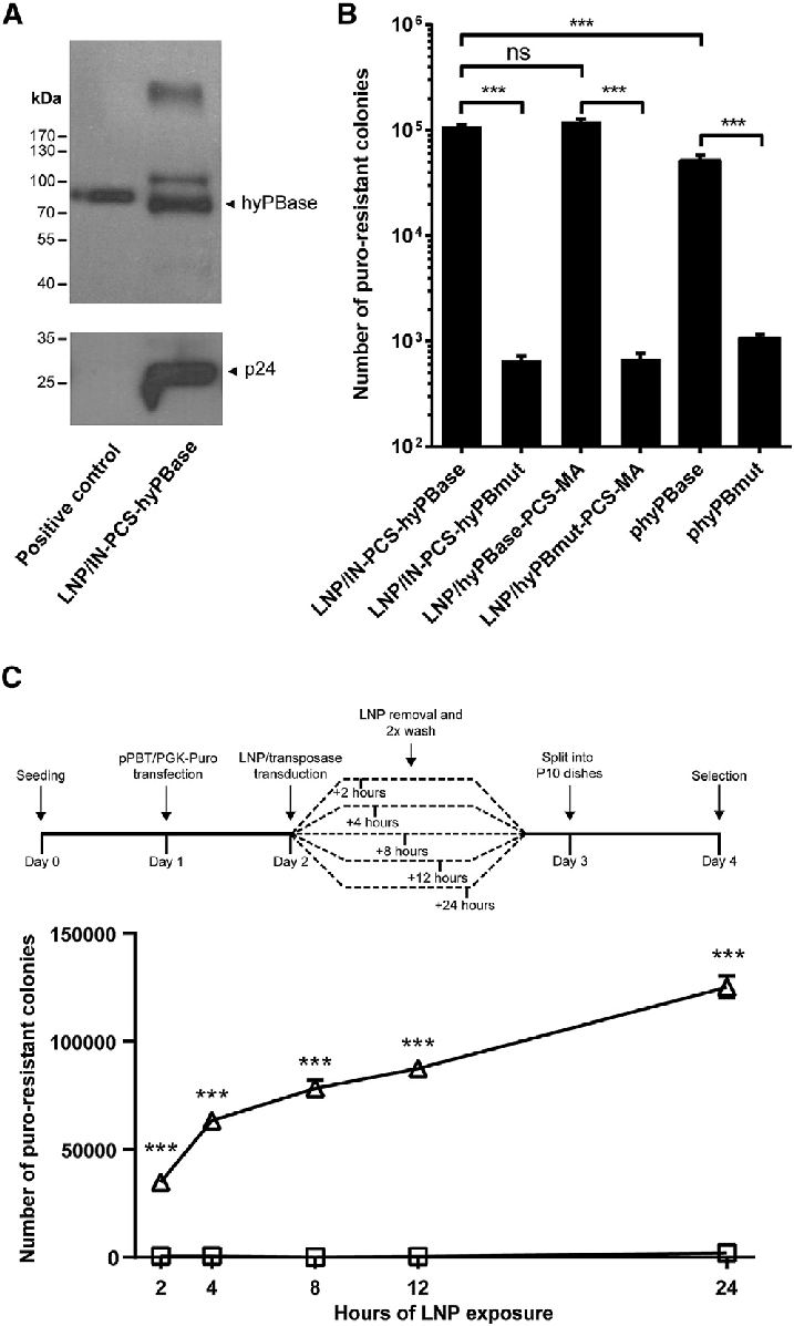Efficient and Rapid Cellular Uptake of hyPBase-Loaded LNPs (A) Evidence... | Download Scientific Diagram