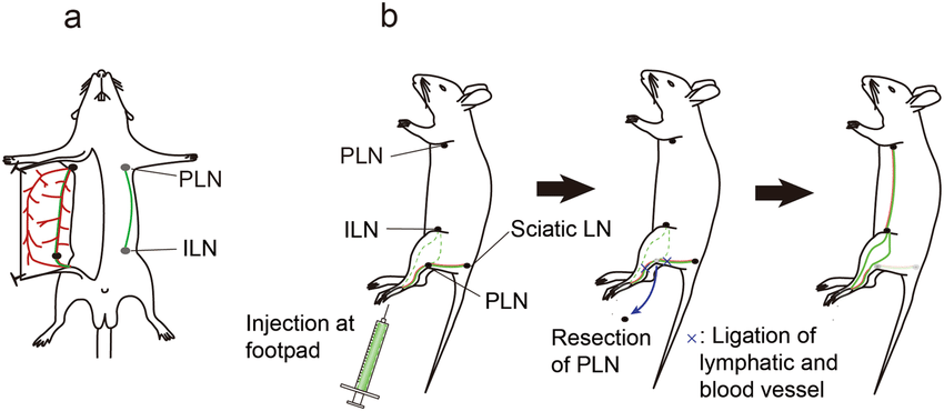 Schematic diagram illustrating a lymphatic flow-modified
