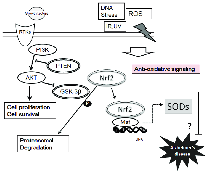 Implication of SODs in the neuroprotection against