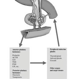 structure and function of the hypothalamus pituitary gland peripheral endocrine glands system scheme [ 850 x 1548 Pixel ]