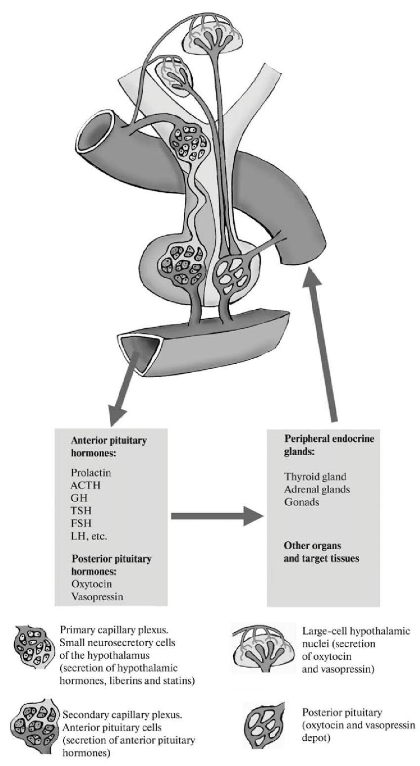 hight resolution of structure and function of the hypothalamus pituitary gland peripheral endocrine glands system scheme