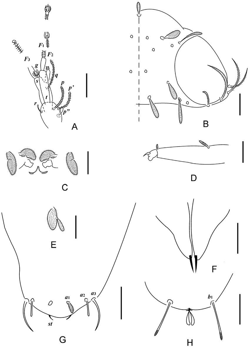 hight resolution of  holotype a left antenna tergal view b head median and right part dorsal view c collum segment sternal view d tarsus of leg ix e setae on trochanter