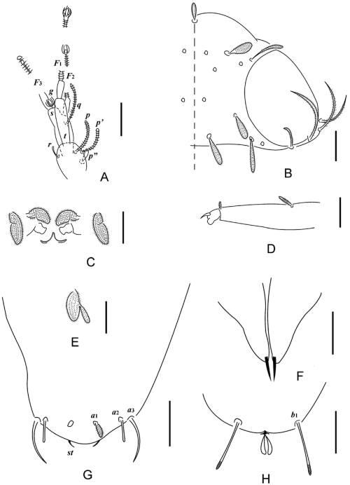 small resolution of  holotype a left antenna tergal view b head median and right part dorsal view c collum segment sternal view d tarsus of leg ix e setae on trochanter