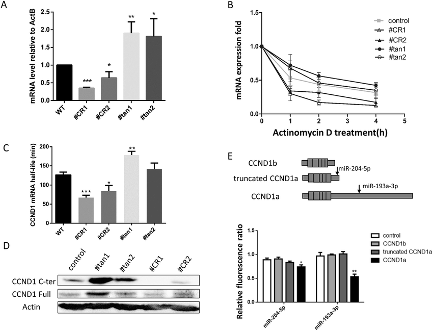 Effects of APA on mRNA expression level and stability. (A