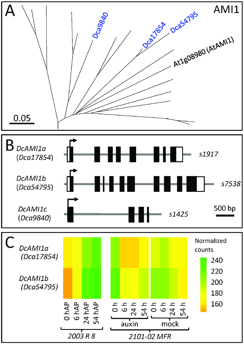 medium resolution of phylogenetic analyses of the ami1 gene family in carnation a download scientific diagram