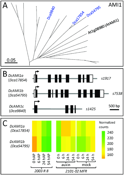 small resolution of phylogenetic analyses of the ami1 gene family in carnation a download scientific diagram
