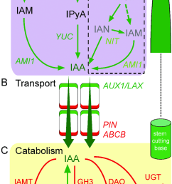 proposed pathways of iaa homeostasis in carnation stem cuttings a download scientific diagram [ 850 x 1440 Pixel ]