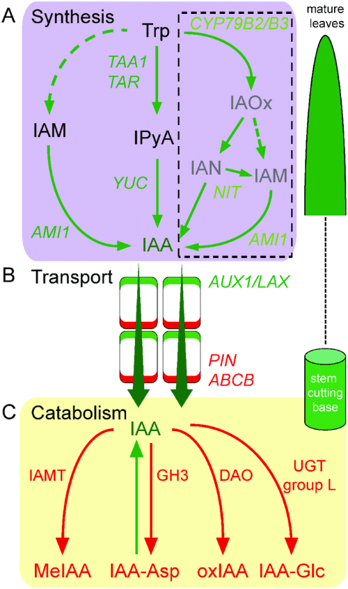 small resolution of proposed pathways of iaa homeostasis in carnation stem cuttings a download scientific diagram