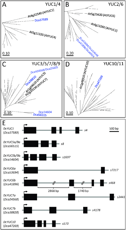 small resolution of phylogenetic analyses of the yuc gene family in carnation boxes show download scientific diagram