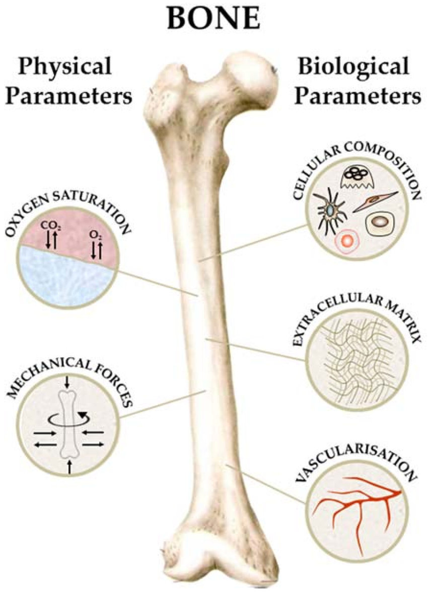 hight resolution of schematic summary of key parameters in bone tissue