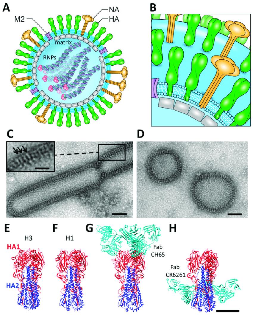 hight resolution of hemagglutinin diagram
