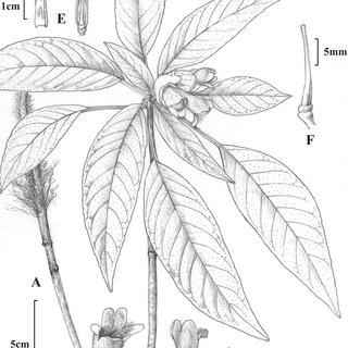 Comparisons between Hemiboea suiyangensis and H. omeiensis