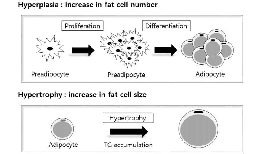 white fat cell diagram 4 pin relay wiring driving lights animal data intramuscular deposition through increased proliferation vegetable