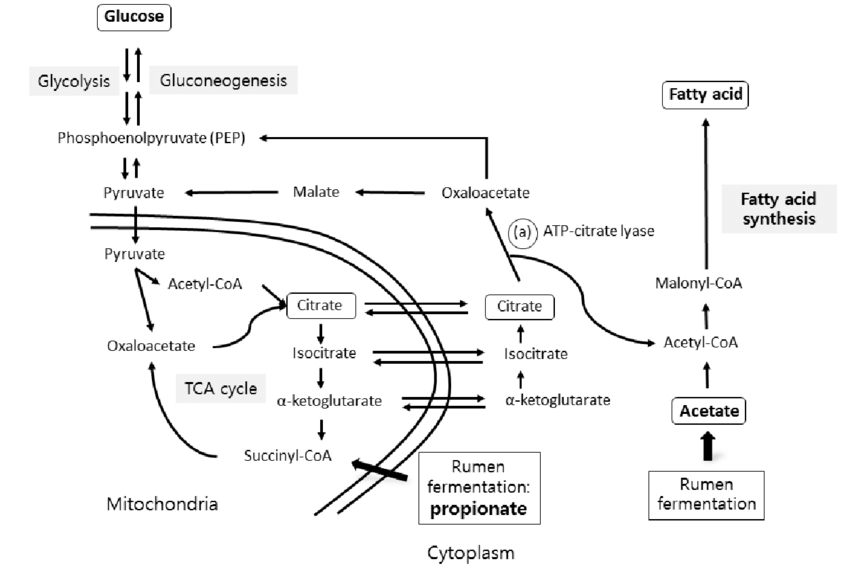 Fatty acid (FA) synthesis pathway in ruminants. Microbes