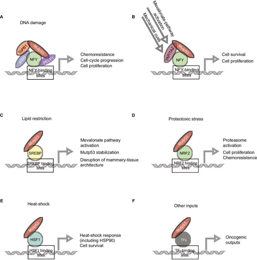 Mutant p53 (mutp53) interacts with various transcription