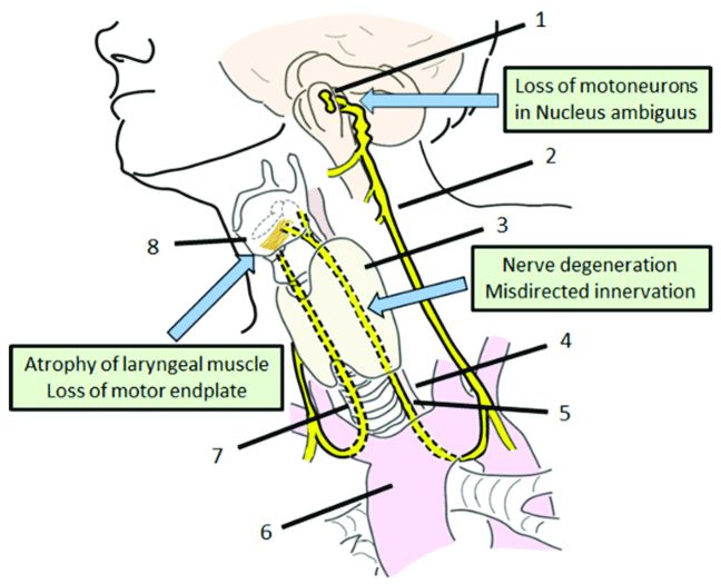 vagus nerve diagram wiring for utility trailer anatomy and problems of recurrent laryngeal regeneration 1 nucleus ambiguous 2