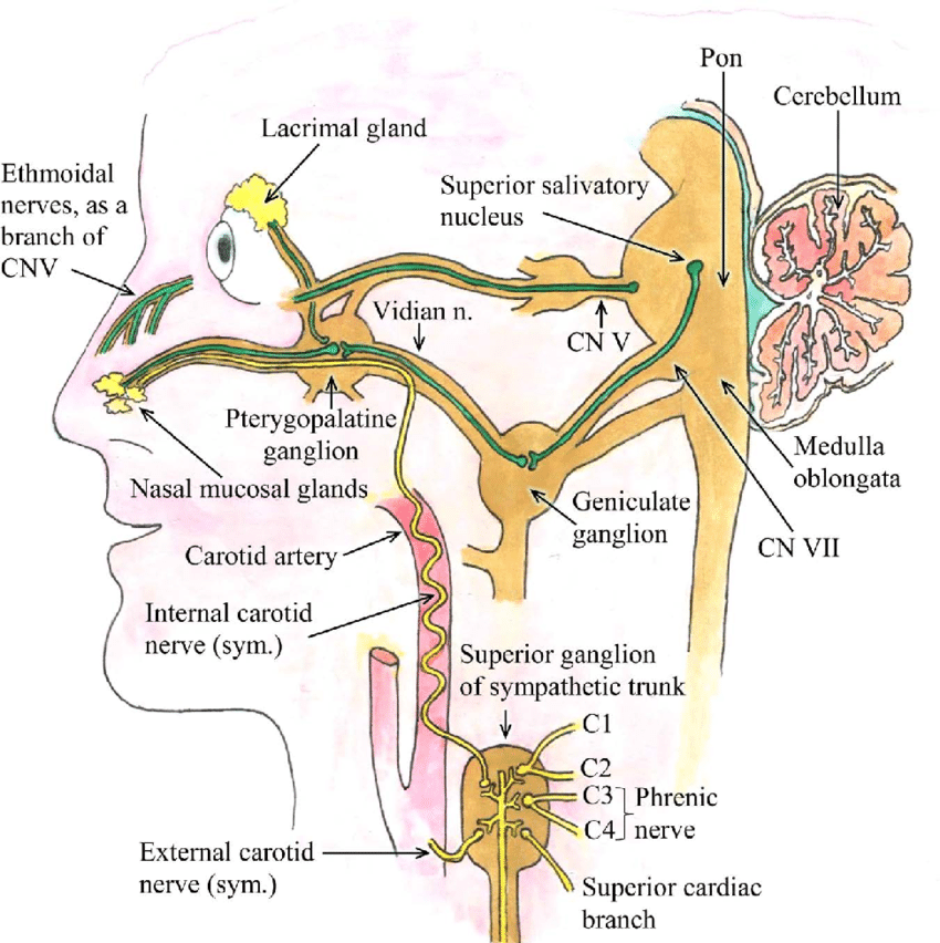 trigeminal nerve diagram state in software engineering two parasympathetic cranial nerves cn v and download scientific