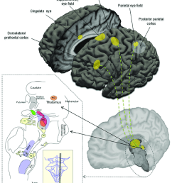 schematic overview of important cortical regions and brainstem areas involved in the control of eye movements [ 850 x 996 Pixel ]