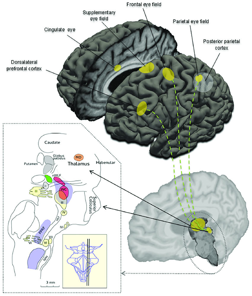 hight resolution of schematic overview of important cortical regions and brainstem areas involved in the control of eye movements