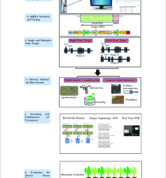flow chart describing the steps involved in crispr cas9 based genome editing step [ 850 x 1029 Pixel ]