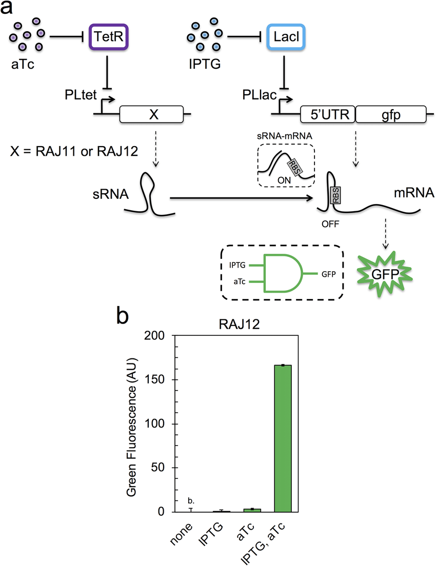 medium resolution of rna based and logic gate a scheme of the gene regulatory circuit