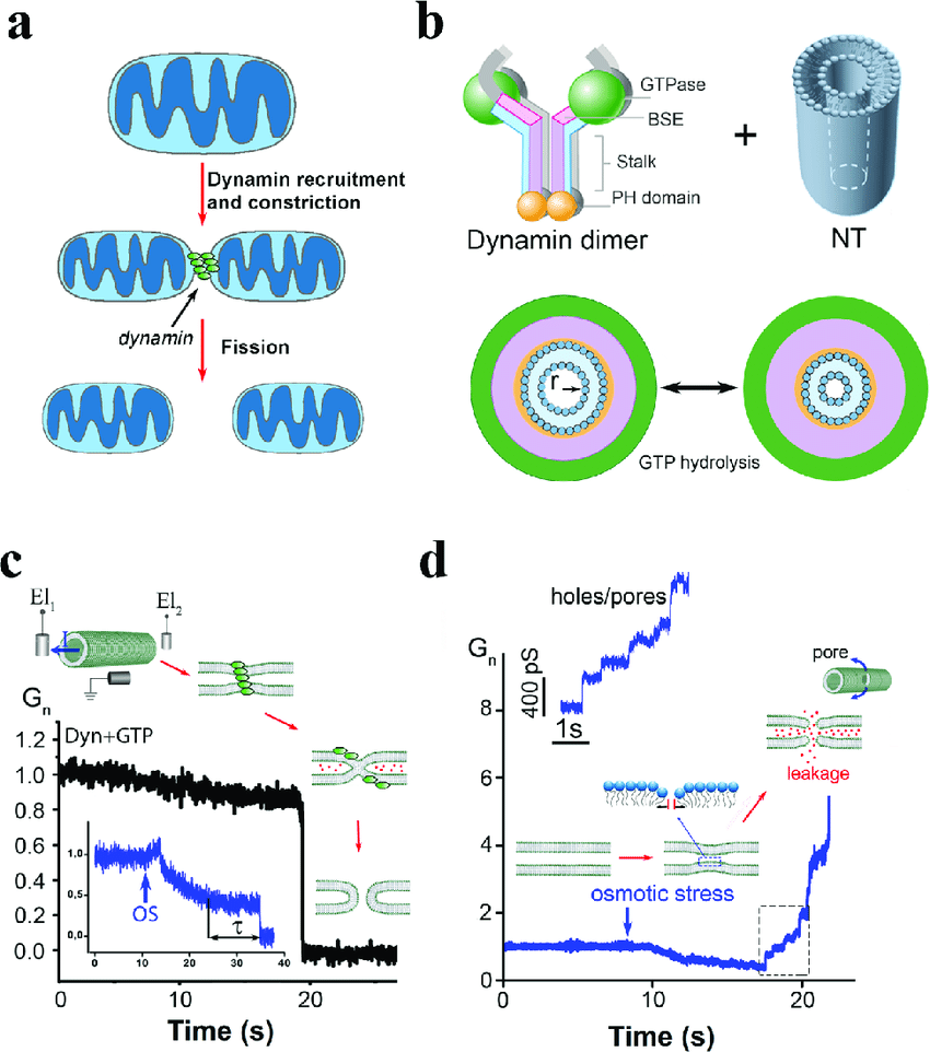 hight resolution of phenomenology and pathways of dynamin driven membrane fission a dynamins in mitochondrial