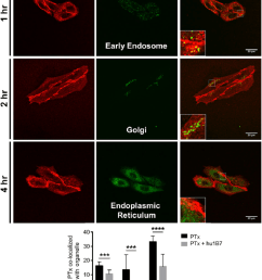 hu1b7 reduces pertussis toxin ptx internalisation into retrograde organelles cho cells were grown on cover slides and incubated with 1 nm ptx  [ 850 x 1152 Pixel ]