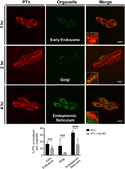 small resolution of hu1b7 reduces pertussis toxin ptx internalisation into retrograde organelles cho cells were grown on cover slides and incubated with 1 nm ptx