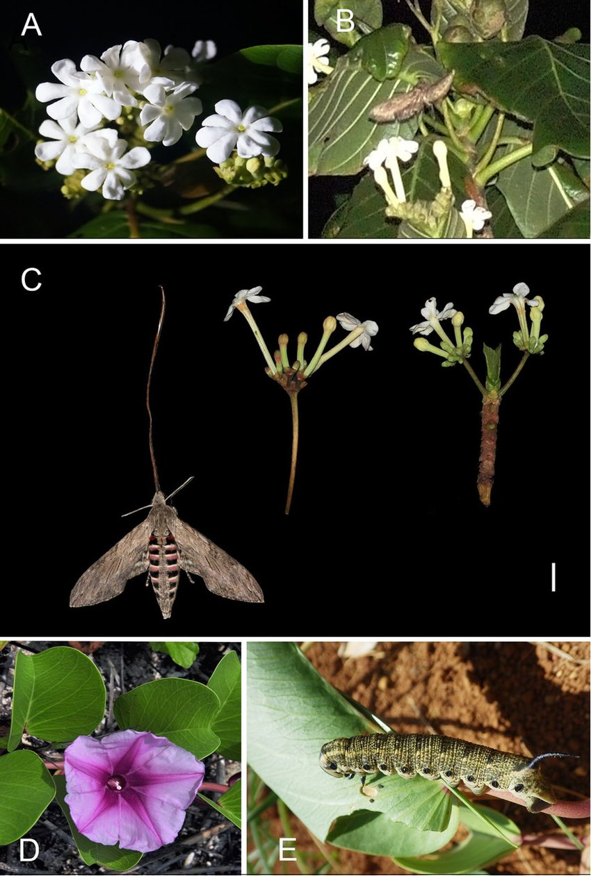 hight resolution of the flower and pollinator of guettarda speciosa in study site a blooming inflorescence shows narrow corolla throat b agrius convolvuli is pollinating