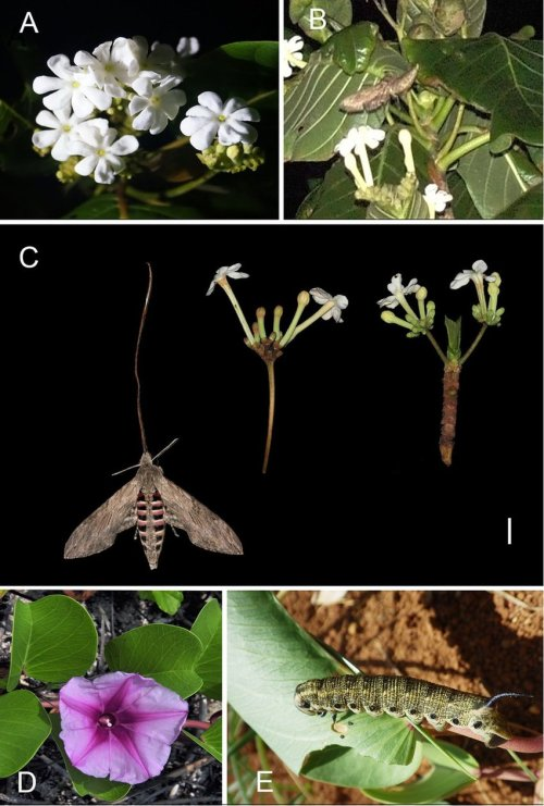 small resolution of the flower and pollinator of guettarda speciosa in study site a blooming inflorescence shows narrow corolla throat b agrius convolvuli is pollinating