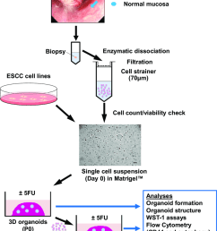 3d organoids generation and analyses biopsies from tumors and adjacent download scientific diagram [ 850 x 1109 Pixel ]