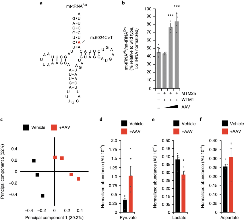 Reduction of m.5024C>T mtDNA heteroplasmy results in