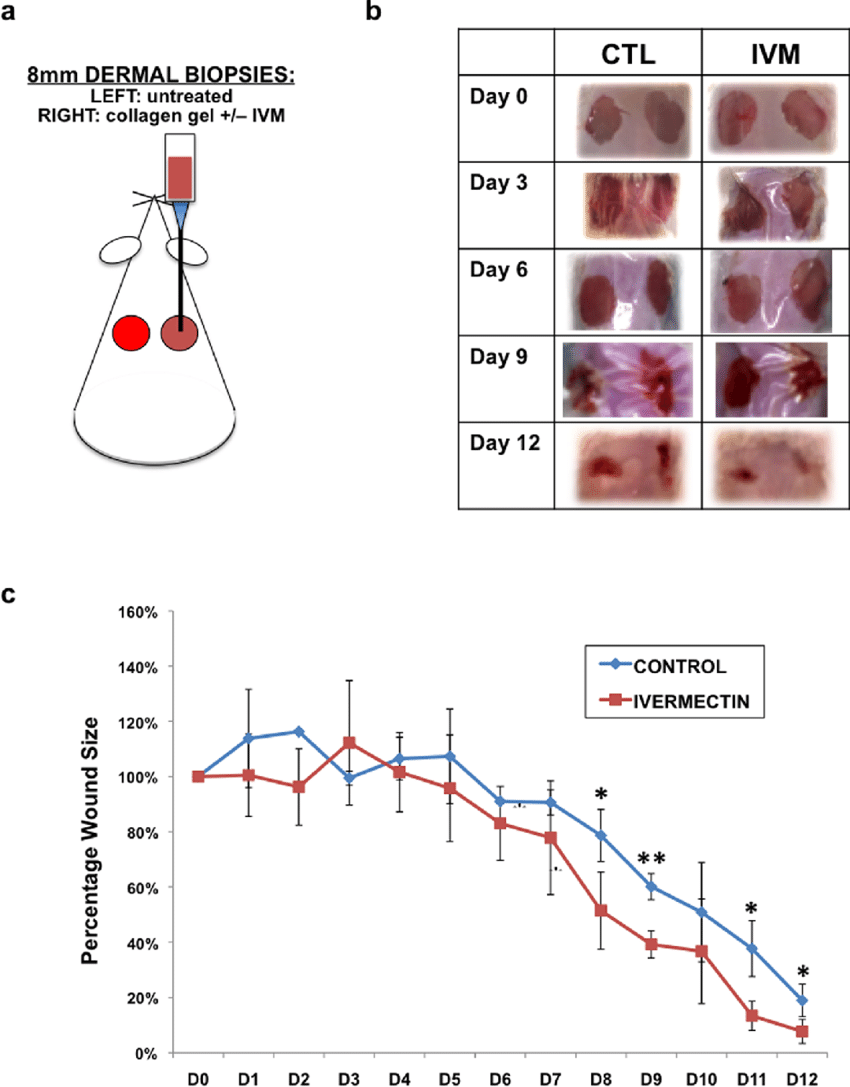 hight resolution of ivermectin promotes wound healing of dermal biopsies in vivo a schematic diagram of