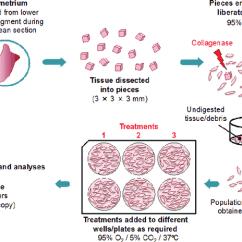 Human Muscle Cell Diagram Kohler 20 Hp Wiring Myometrial Smooth Culture Model Download Scientific