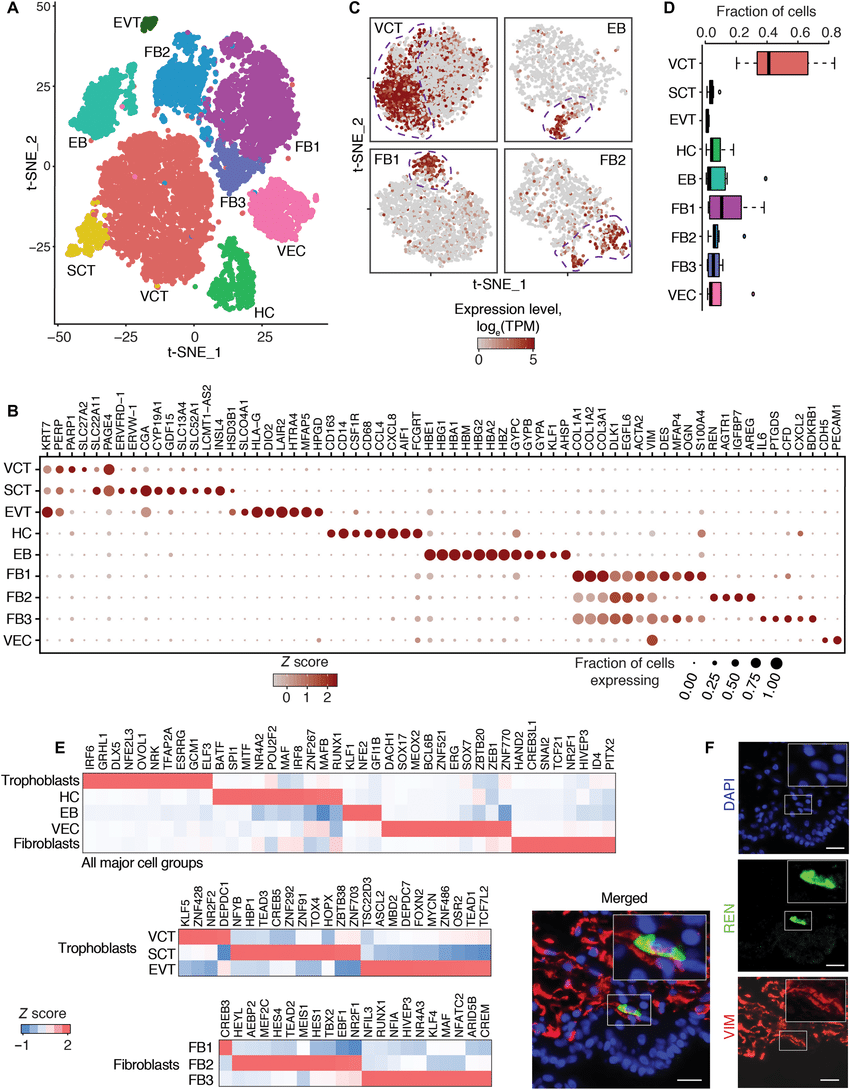 medium resolution of single cell expression atlas of first trimester villi a cell type