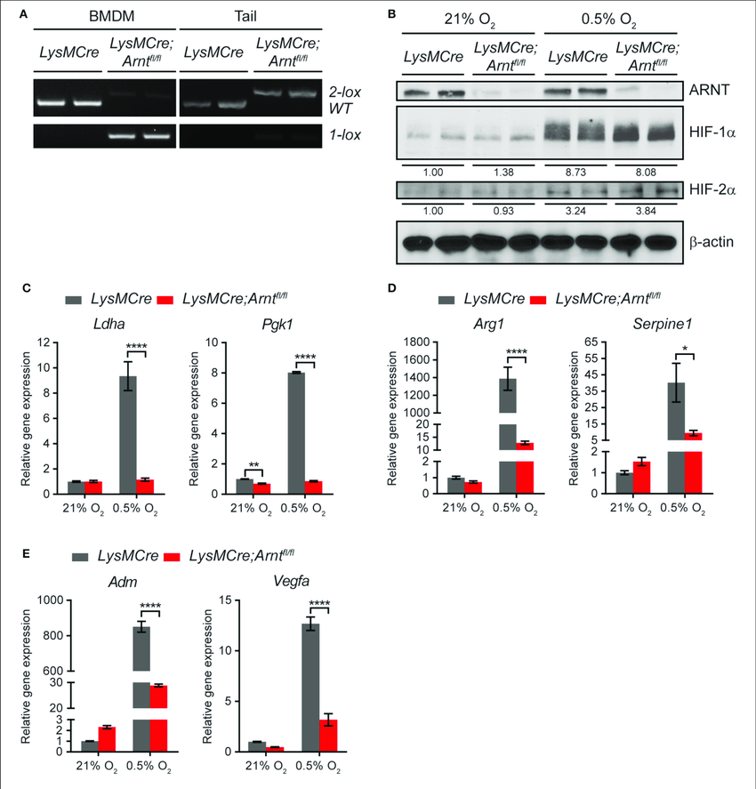   Arnt deletion in macrophages disrupts both HIF-1α and