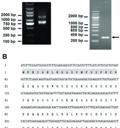 gene cloning of latroeggtoxin v a identification of the total rna integrity [ 807 x 1087 Pixel ]