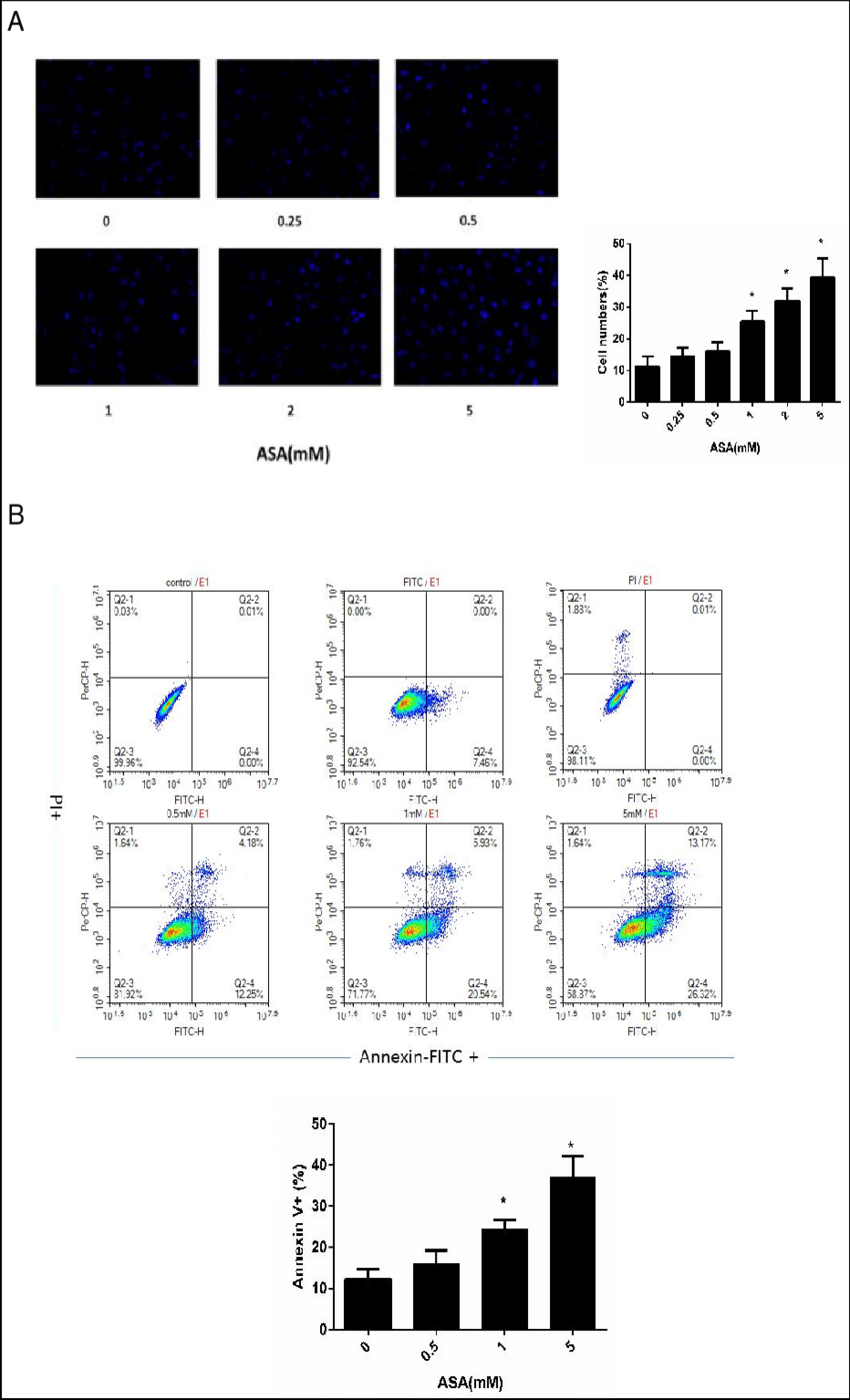 hight resolution of effects of different c o n c e n t r a t i o n s of aspirin on tsc apoptosis hoechst 33342 staining and annexin v