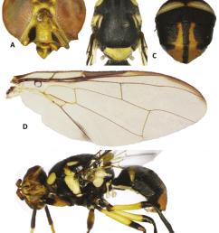 bactrocera hemigymnodacus pendleburyi a head b head and scutum c abdomen d wing [ 850 x 1223 Pixel ]