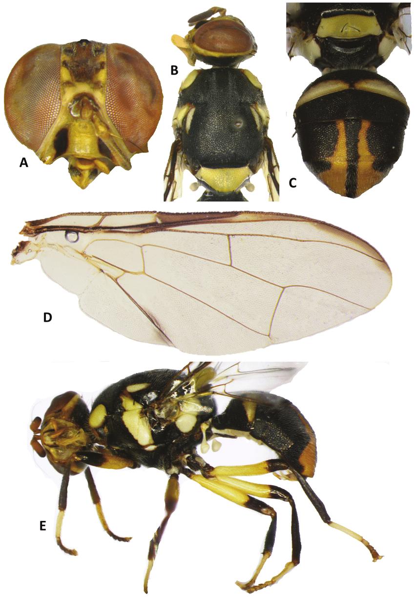 medium resolution of bactrocera hemigymnodacus pendleburyi a head b head and scutum c abdomen d wing